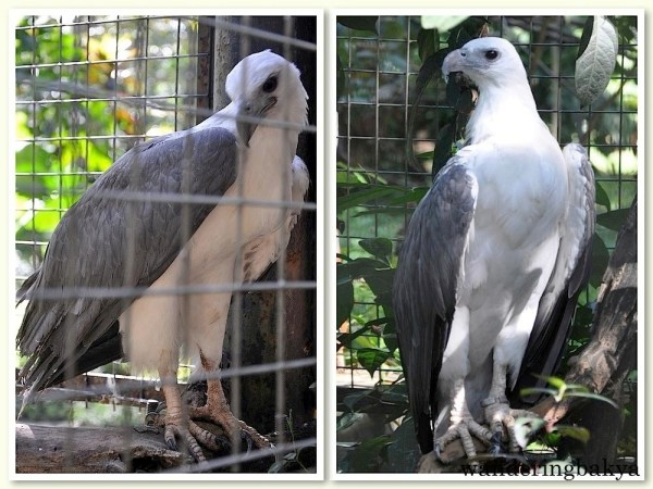 White-Bellied Sea Eagle. According to the informative tarpaulin near the cage, the white-bellied sea eagles are not true eagles which have feathered legs. They are giant kites, a near relative of eagles.