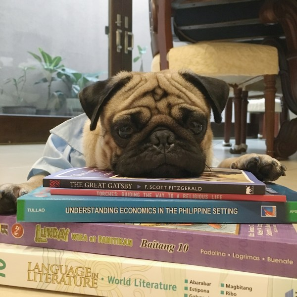 Of course, Jamba the Pug also exercises his brain cells. He looks exhausted after reading five books.