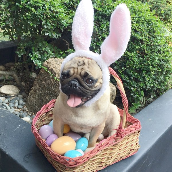 Jamba the Pug celebrates Easter Sunday surrounded by Easter eggs.