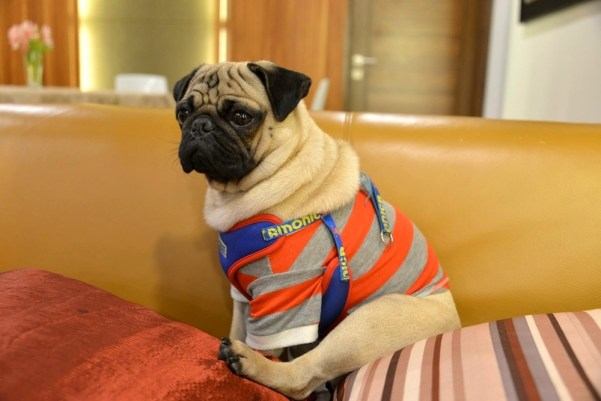 Sometimes Jamba the Pug hangs out by his lonesome, still dressed to impress.