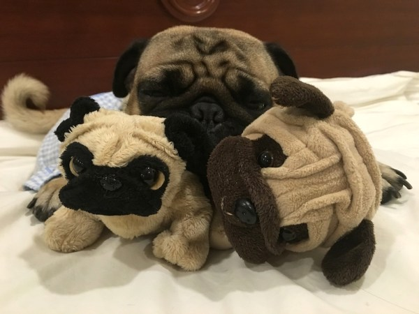 They say that it is lonely at the top, so Jamba the Pug spends time with his doppelganger friends. How cute are they?