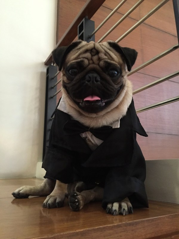 A few days after his birthday, Jamba the Pug dressed to the nines for a romantic date.