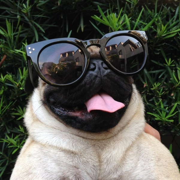 Jamba the Pug knows how to protect himself from UV rays during the harsh summers in Manila.
