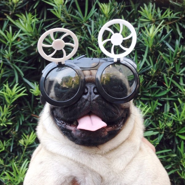 Jamba the Pug sticks his tongue out to those who think that he looks loopy with those sunglasses.