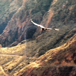 California Condor's Thrive in Grand Canyon National Park