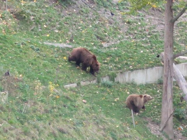 Bear chase in Bern!