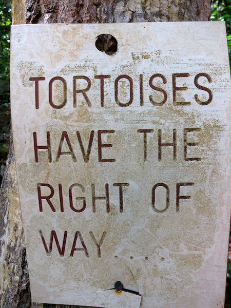Seychelles islands Moyenne island tortoises have the right of way