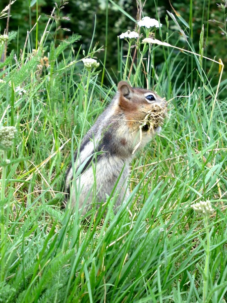 Adorable chipmunk with a mouthful of grass