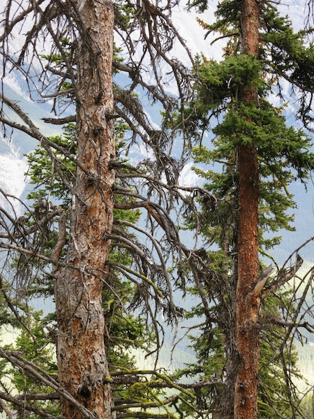 Pine trees on Sulphur Mountain in Banff, Alberta