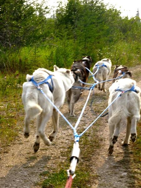 Dog carting in Churchill Manitoba Canada