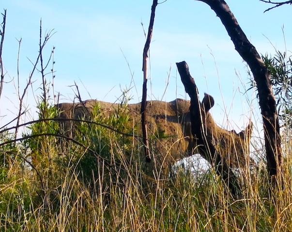 Big 5 safari animals white rhino