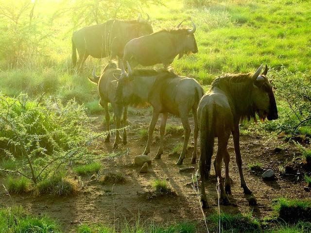Sunset safari Pilanesberg National Park South Africa