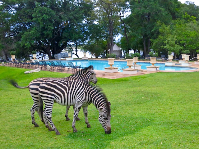 Royal Livingstone Hotel pictures, zebras, best hotel in Victoria Falls