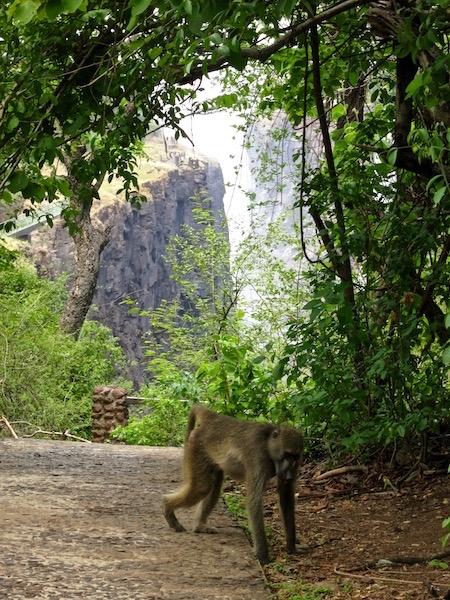 Victoria Falls photos, monkey