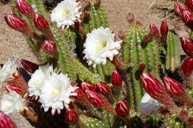 Hiking in Scottsdale, cactus in bloom