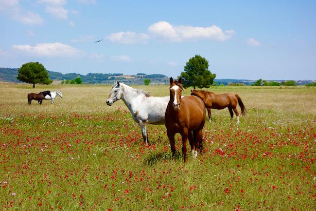 Horses along Canal du Midi France