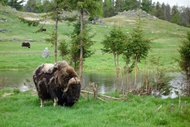 Musk ox at Zoo sauvage Saint Felicien Quebec
