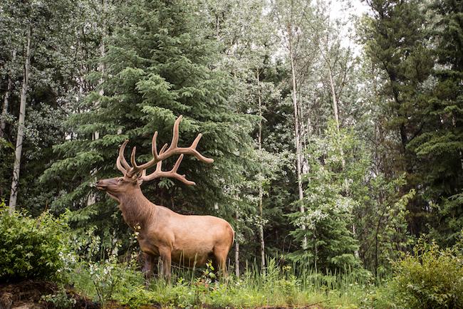 Rocky Mountaineer Canada wildlife elk