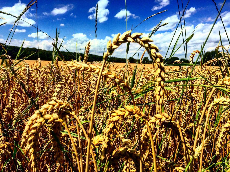Munich Biking Wheat Field