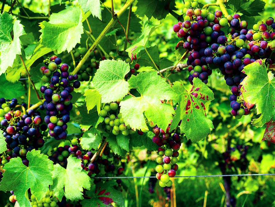 German vineyard for German wine Wandering Chocobo