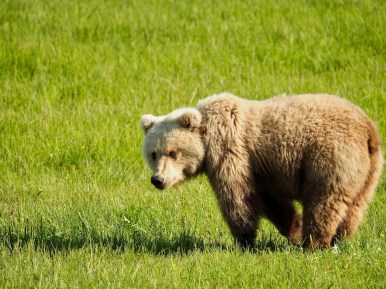 alaska anchorage brown bear viewing