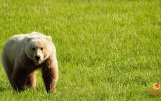 Alaska brown bear viewing near anchorage