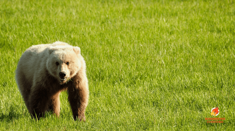 Alaska brown bear viewing near anchorage