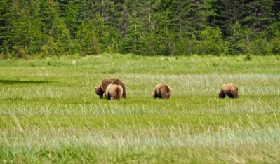 alaska-bear-family-chinitna-bay