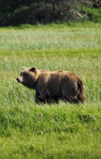 alaska-male-brown-bear-lake-clark-national-park