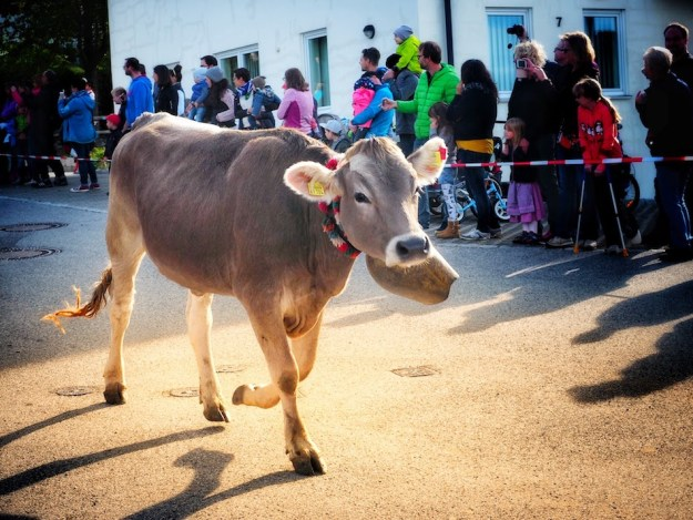 Cows coming home in Alpine parade for Almabtriebe