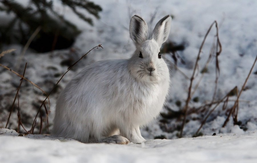 alaska winter wildlife hare