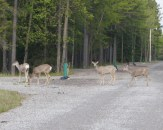 Blondie and I spotted these mule deer in the campground