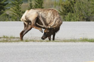 This elk greeted us at the off ramp to the Bow Valley Parkway. What a great way to begin our scenic drive!