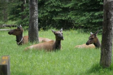 Elk near our campsite in Jasper