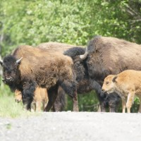 Day 29: More Wildlife and Liard Hotsprings
