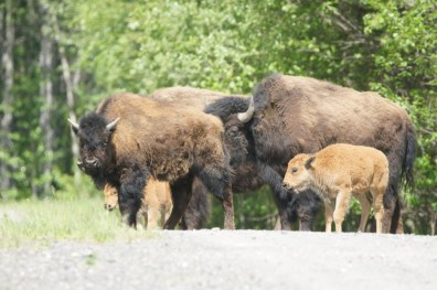 Bison herd with calves near Liard River Hotsprings