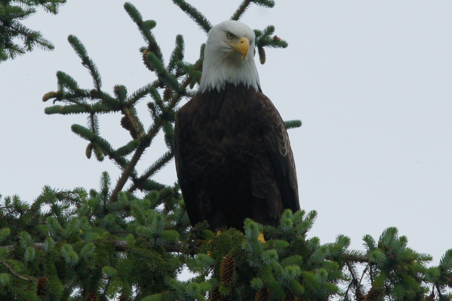 Bald Eagle at Chilcoot Lake State Park, Haines, AK