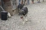 One of the Alaskan Husky sled dogs
