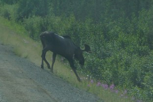 A moose sighting on the way back