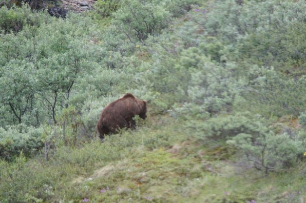 Our first wildlife sighting was a Grizzly Bear