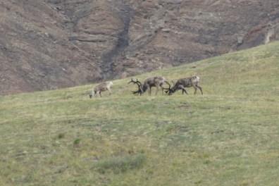 Caribou grazing in Denali National Park