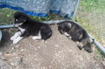 Two of the Alaskan Husky puppies
