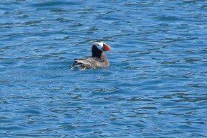 There were Puffins in the water