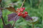I think this is a high bush cranberry