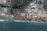 Hundreds of juvenile Stellar Sea Lions