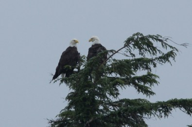 There were lots of eagles in the trees as we went close to shore but this pair was my favorite