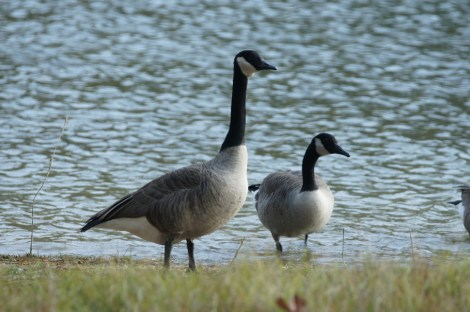 We watched the geese in front of our campsite