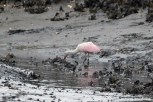 Roseate Spoonbill eating oysters