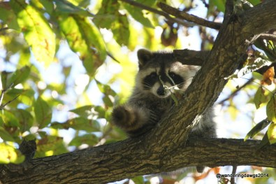 This little raccoon is much cuter than the ones at home