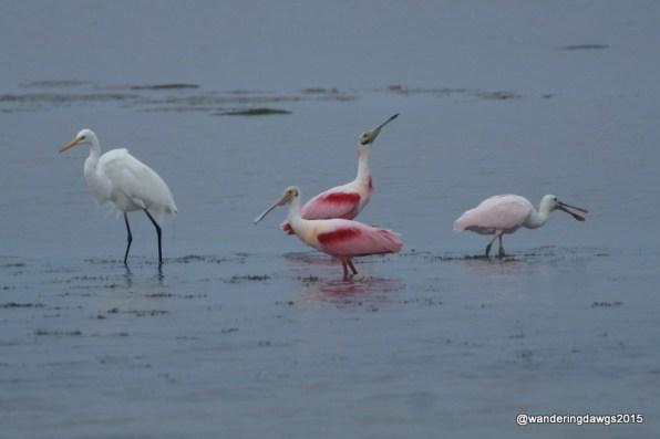 Roseate Spoonbills and Egret